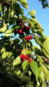 Obstbaumschnitt Baumpflege Karlsruhe