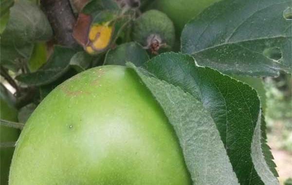 Obstbaum Schnittzeitpunkt
