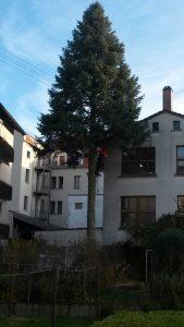 Faellung einer Nordmann Tanne Baumfällung Karlsruhe Baumfällung Durlach Baumfällung Pfinztal
