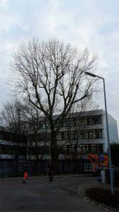 Kappung einer Pappel Baumpflege Karlsruhe Problembaum Karlsruhe