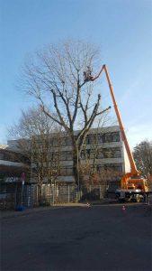 Kappung einer Pappel Baumpflege Karlsruhe Baumpflege Pfinztal Baumpflege Durlach
