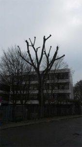 Kappung einer Pappel Baumpflege Karlsruhe Baumpflege Durlch Baumpflege Pfinztal