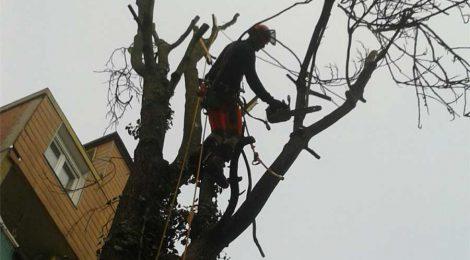Faellung eines Götterbaums